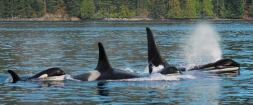 Orcas on Vancouver Island