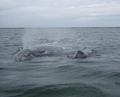 Whale & Calf Mexico