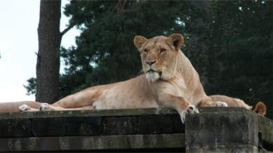 11. Lion M