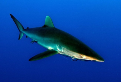 23. Shark-Fin-Trade-Facts
