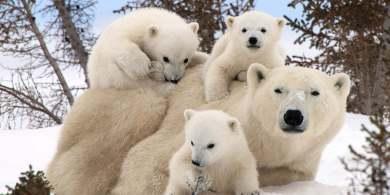 Polar Bear Family Portraits