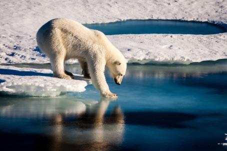 25 Polar Bears 2